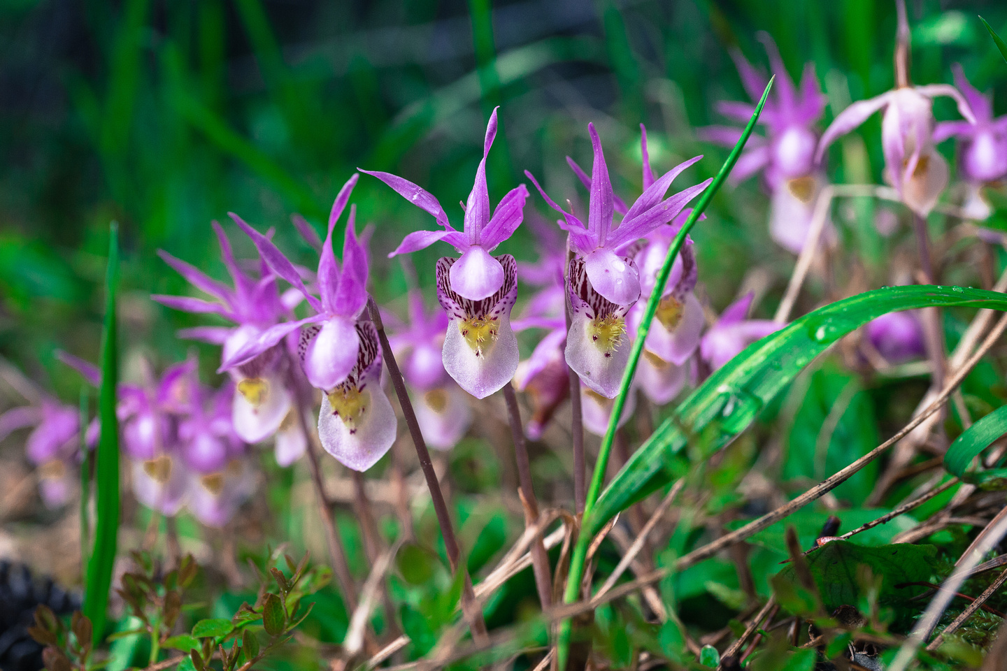 Calypso Orchids at the trailhead.
