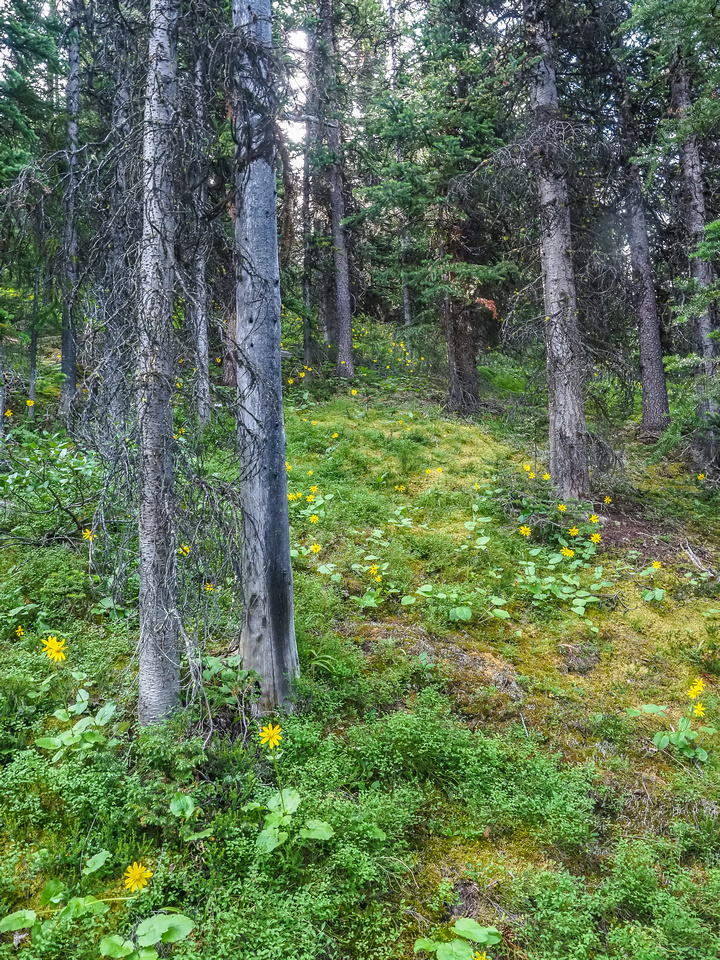 Lovely forested slopes beneath the scree slope on South Totem.