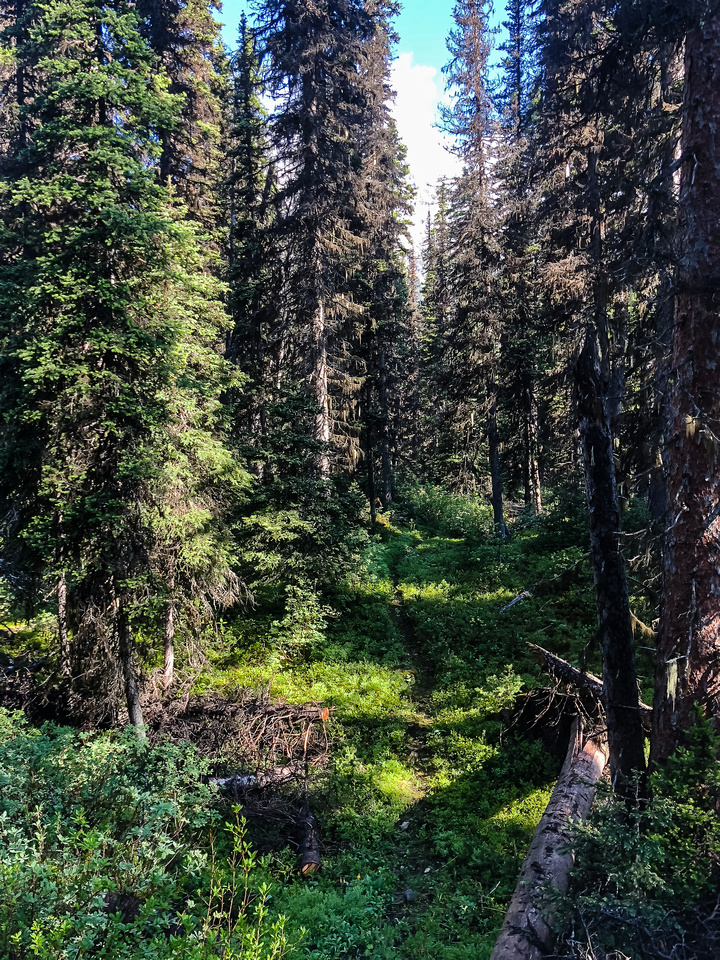 The trail is faint but the path through the forest is surprisingly wide for most of the White Man Pass trail.