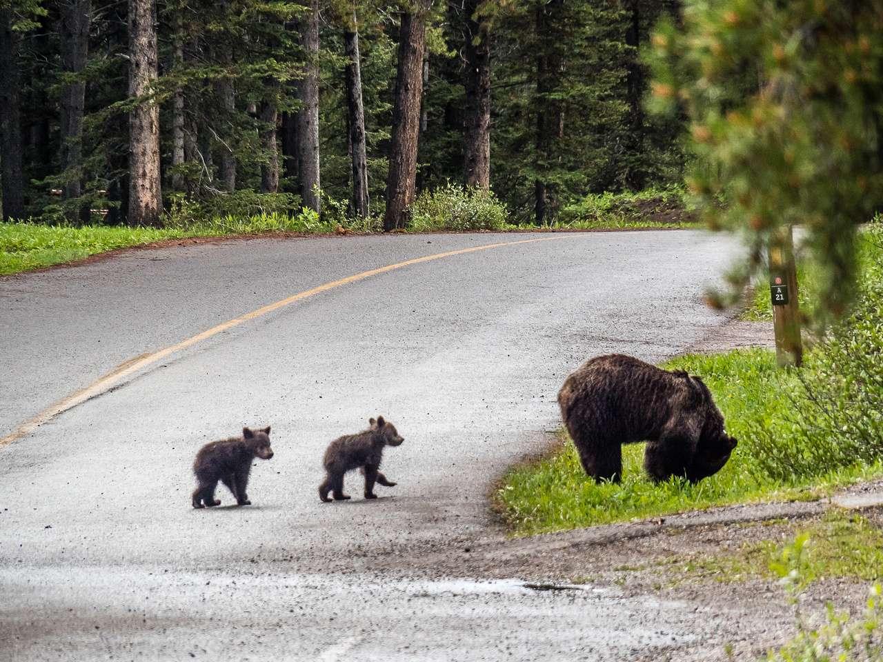 A family of Grizzlies at our camp in Kananaskis.