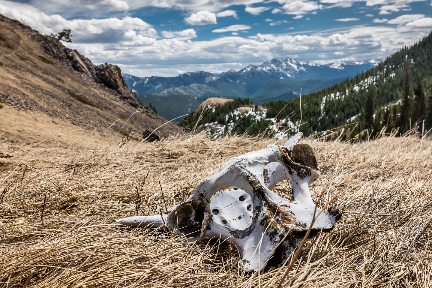 At the col between Junction Hill and the 2nd ridge we found scattered bones from what is probably a bighorn sheep.
