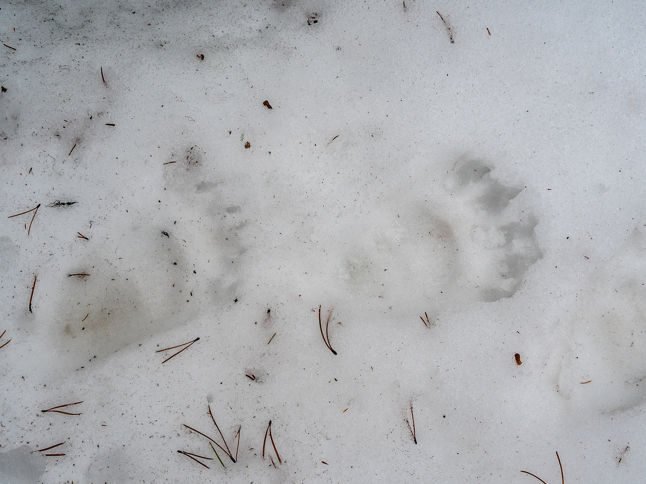 Interesting tracks - too small for bear.