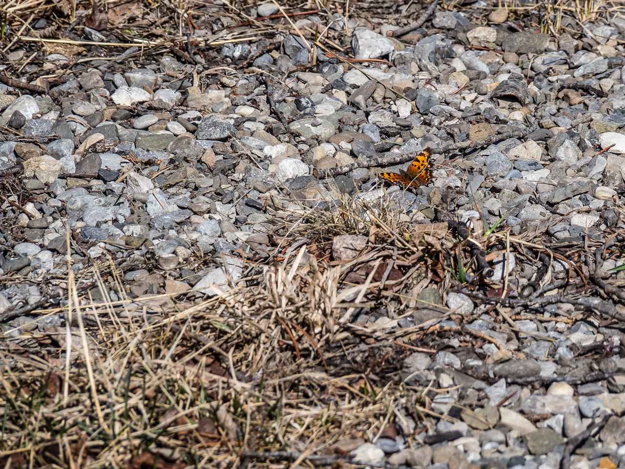 A ton of butterflies were enjoying the warm rocks on the exit road to the parking lot.