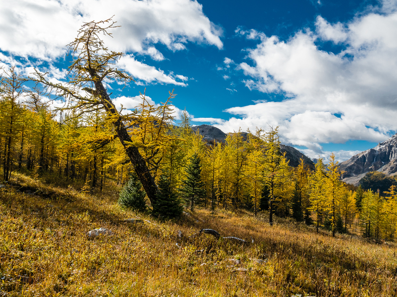 Some larches are more esthetic than others.