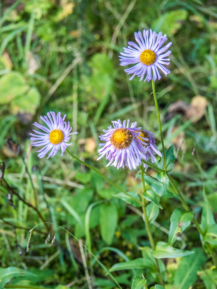 Asters are still hanging on but many wild flowers are slowly giving up on life already.