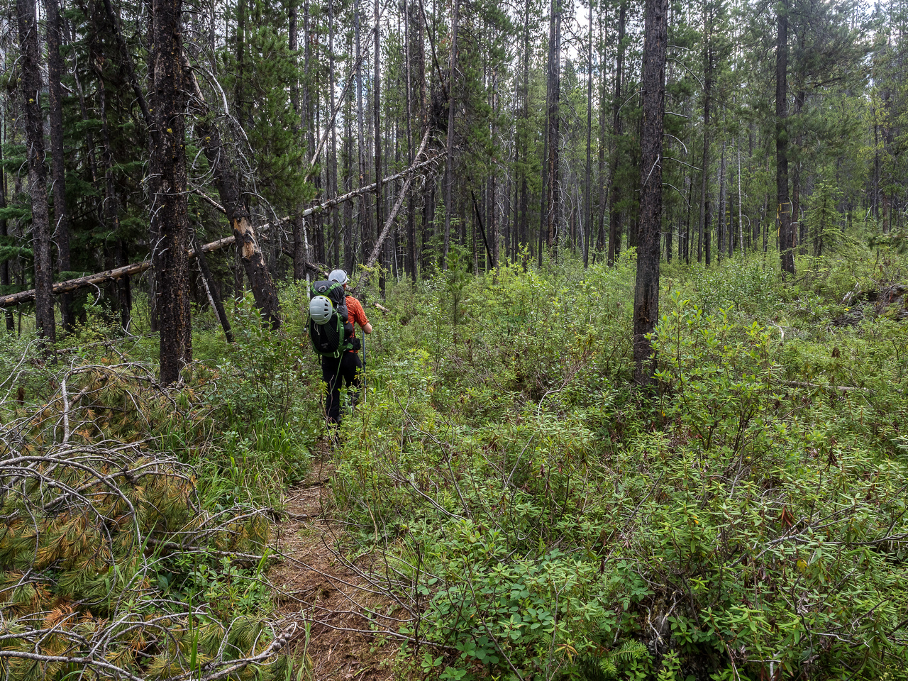 The trail starts out in a surprisingly open matchstick forest that resembles Alberta bush more than BC bush.