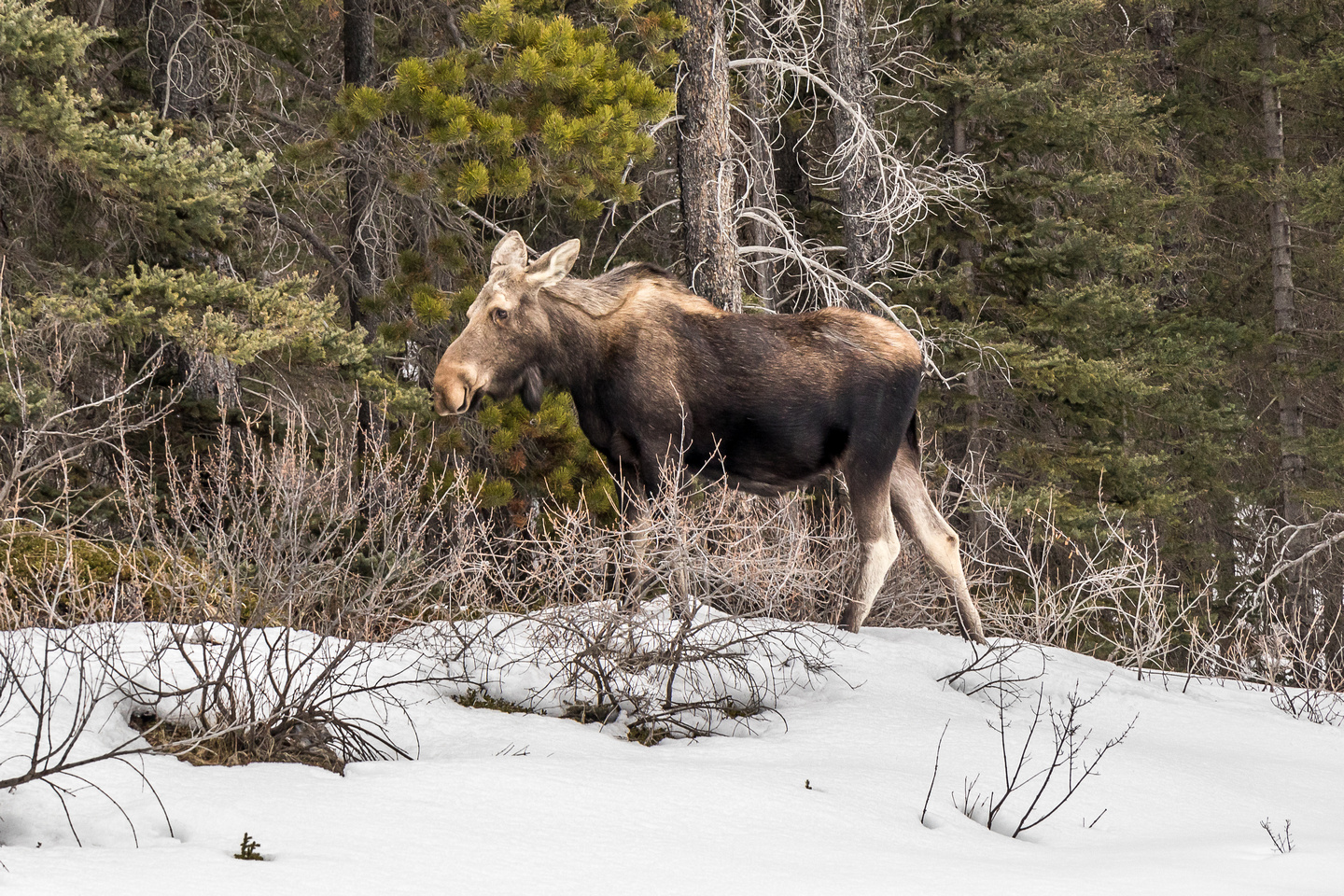 The three moose near my truck weren't so easily avoided. But I managed to talk them off the road eventually.