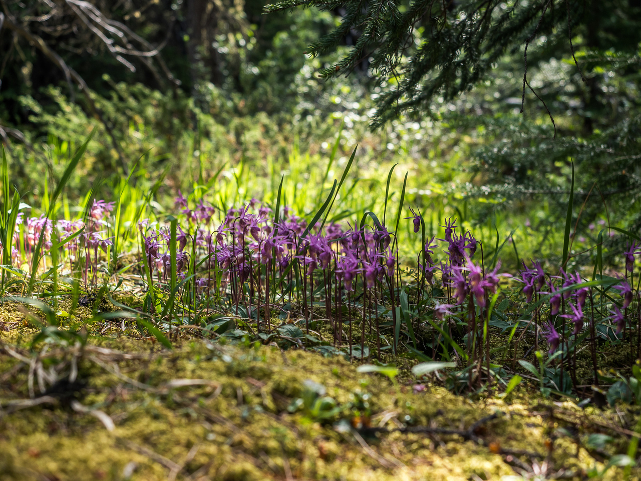 I've never seen carpets of Calypso Orchids like the ones around Whitegoat Creek and the bivy camp.
