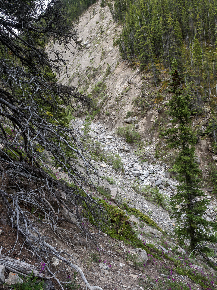 A steep, loose descent from the pleasant forested ridge down into O.D. Creek east fork, which is dry at this point.