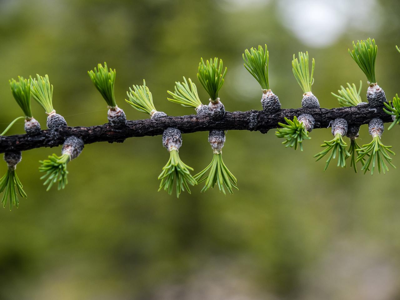 Interesting Spring Larch growth.