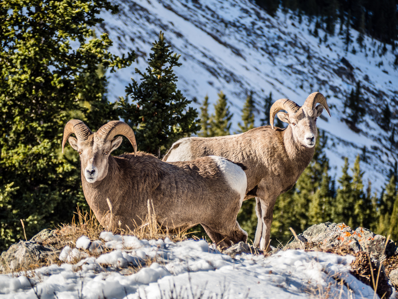 Bighorn Sheep - these rams are too small to be hunted.