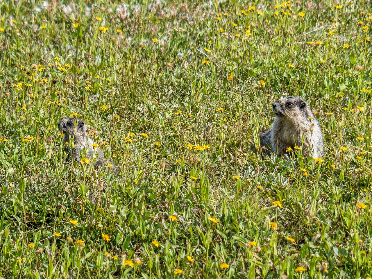 Marmot baby and mama.