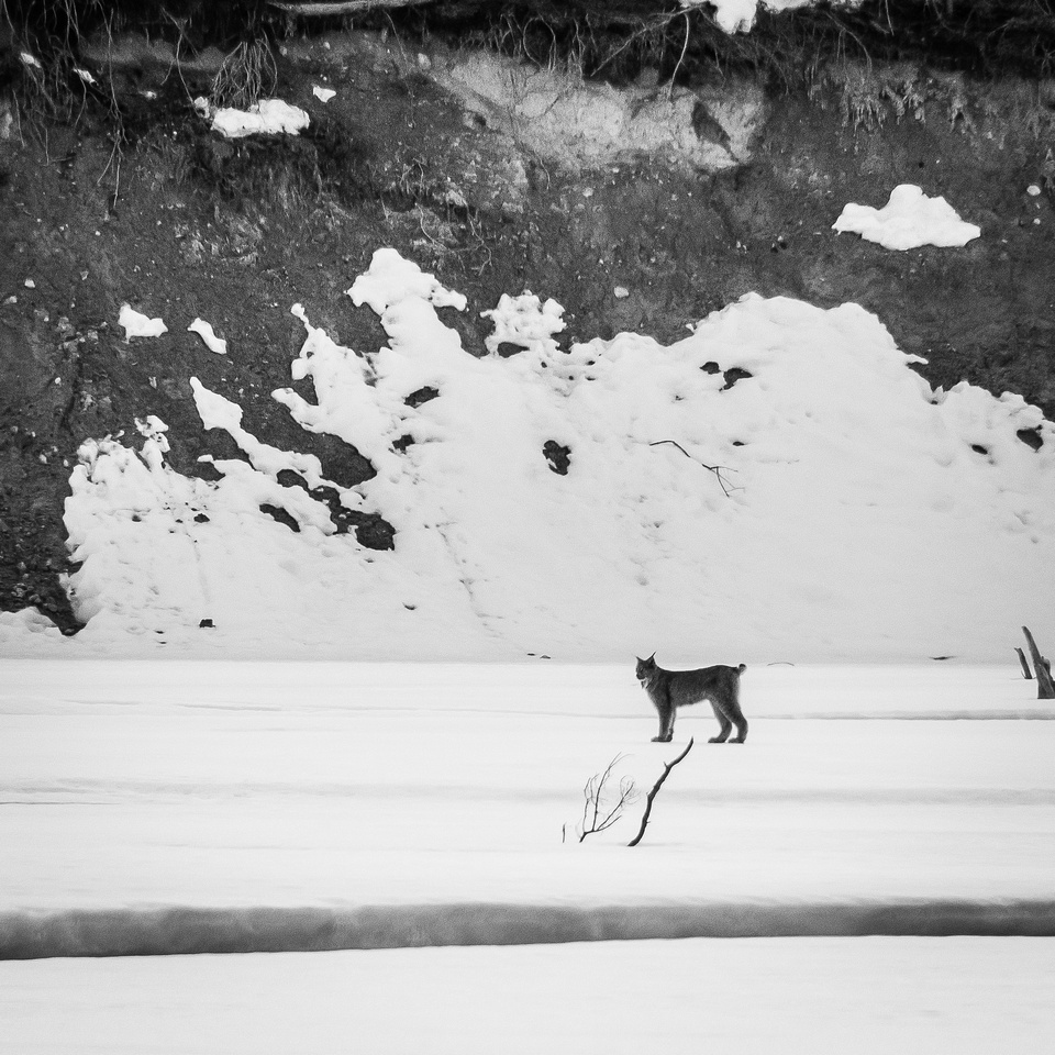 A large Canadian Lynx watches me from across the North Saskatchewan River.