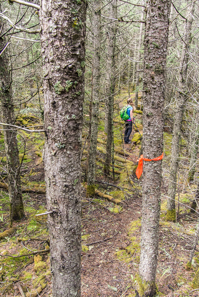 Tons of ribbons mark a trail through the tight forest near the top towards the lower ridge.