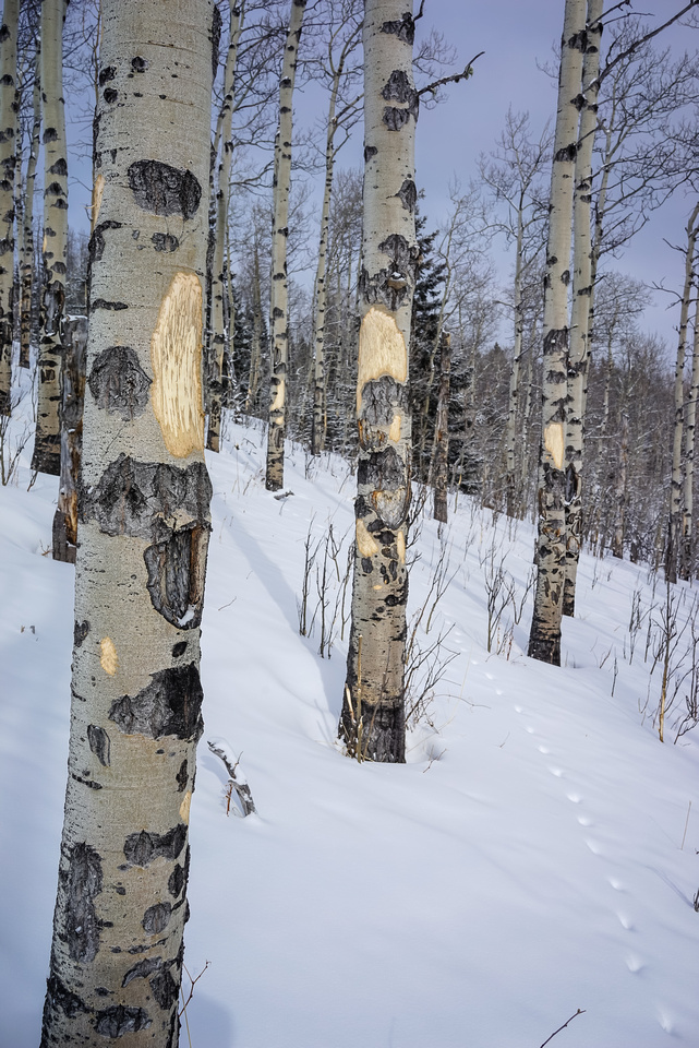 Some animal was doing this to the bark all over the place - deer or moose?