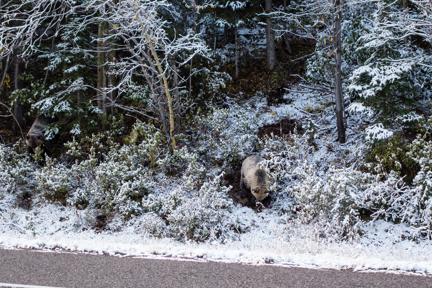 Part of a family of 4 grizzlies that we saw eating breakfast along highway 40 around Wedge Pond.