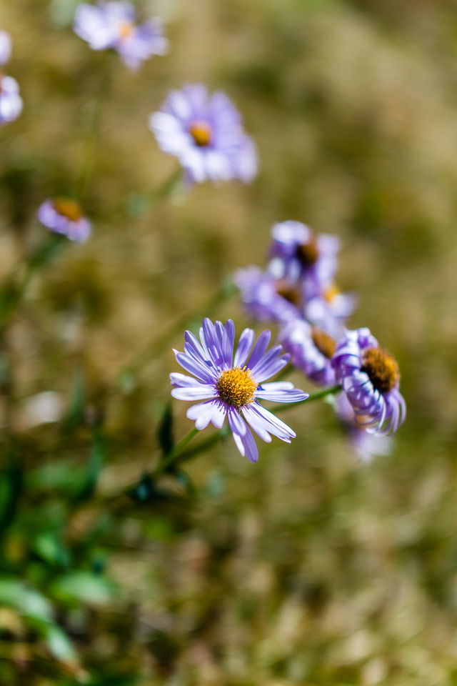 Asters thrive everywhere.