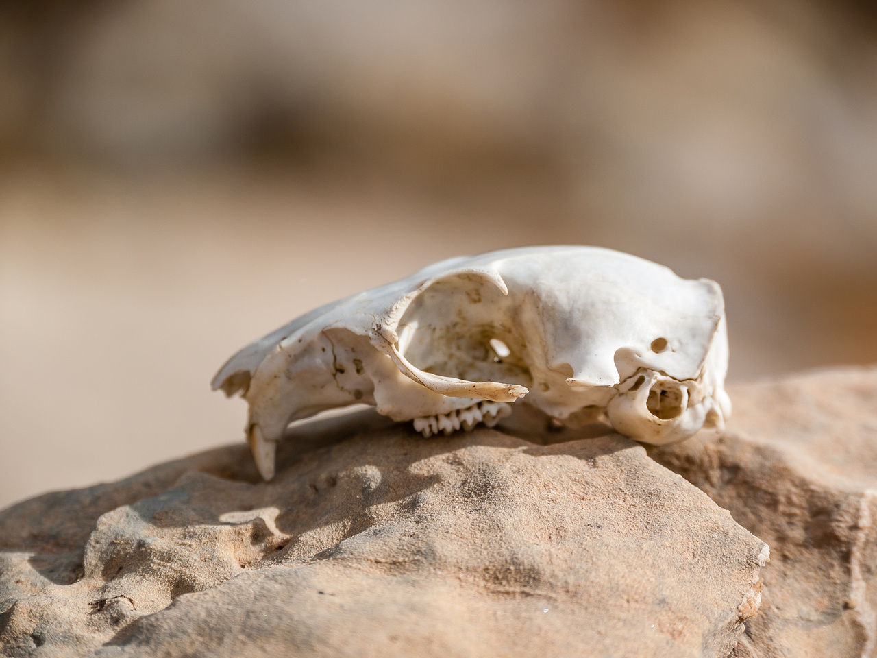 A marmot skull we found on descent.