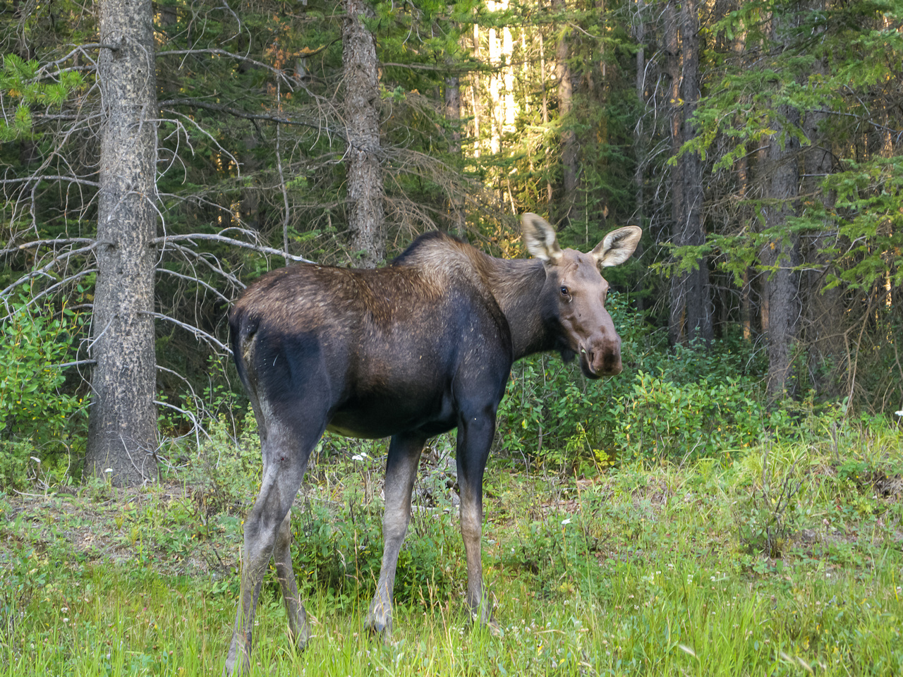 A calf moose on the way out along Fox Creek.
