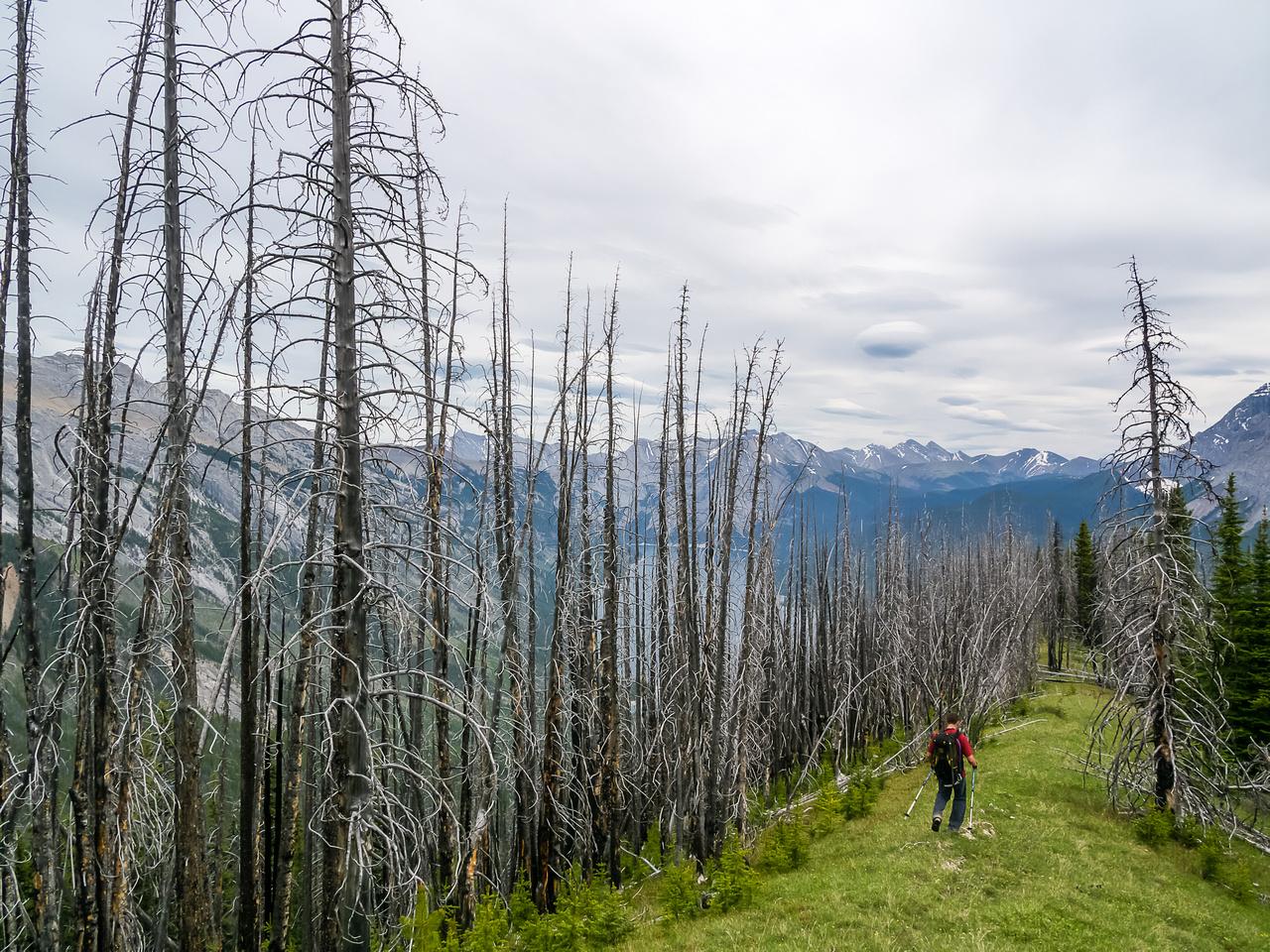 A pleasant stroll through dead forest - an old burn site.