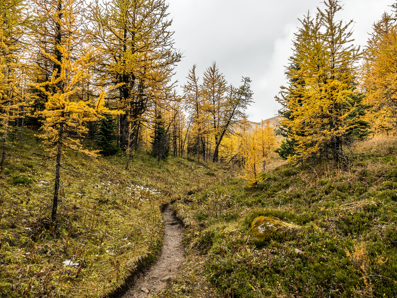 An intense larch forest as I work my way around the dried up tarn and towards the south end of Fatigue Mountain and an outlier of Golden Mountain.