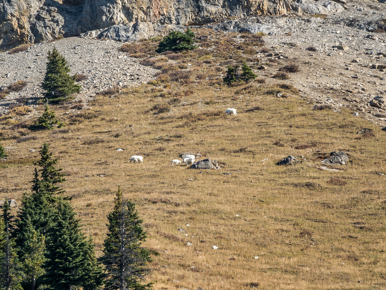 There they are! Happily grazing high above the high line trail on the SW slopes of Golden Mountain.